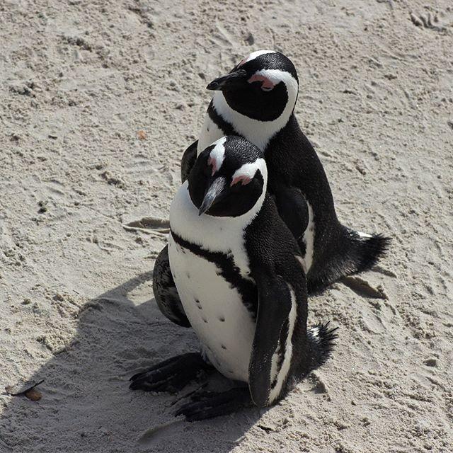 bilder von pinguinen  malvorlagen gratis