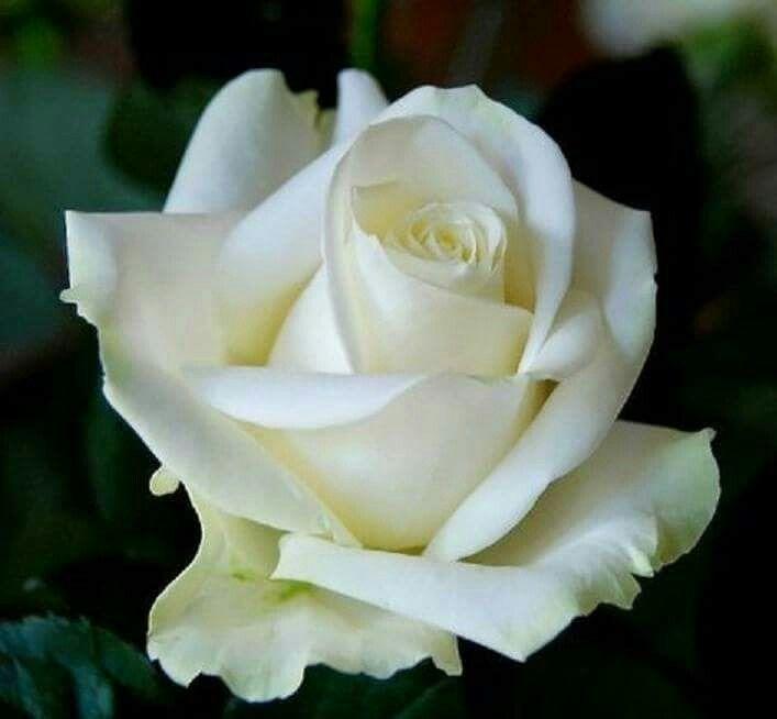 """Résultat de recherche d'images pour """"photos plus belles roses blanches"""""""