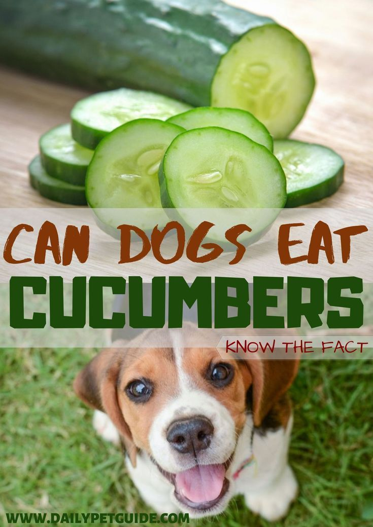 Can dogs eat cucumbers know the fact in 2020 hering