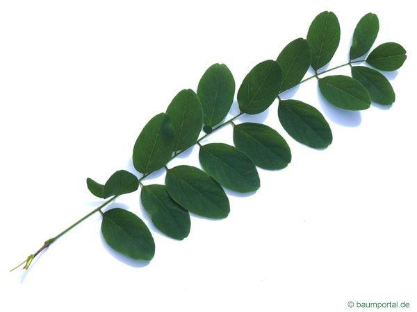 Black Locust Robinia Pseudoacacia Leaf Plant Leaves Leaf Tattoos Deciduous Trees