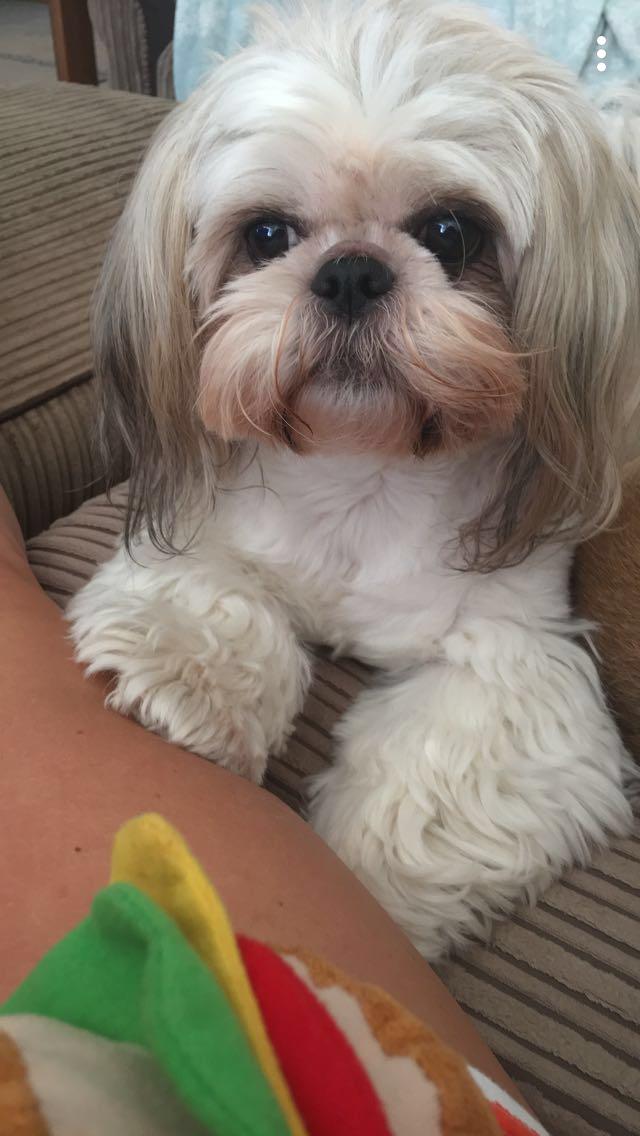 My Shih Tzu Maisy Bijouxhut Xox Shihtzu Puppy Dog Bijouxhut Maltese Shih Tzu Puppy Shih Tzu Shih Tzu Dog