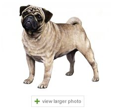 Active Playful Clever And Rambunctious Dogs Pugs Are Usually