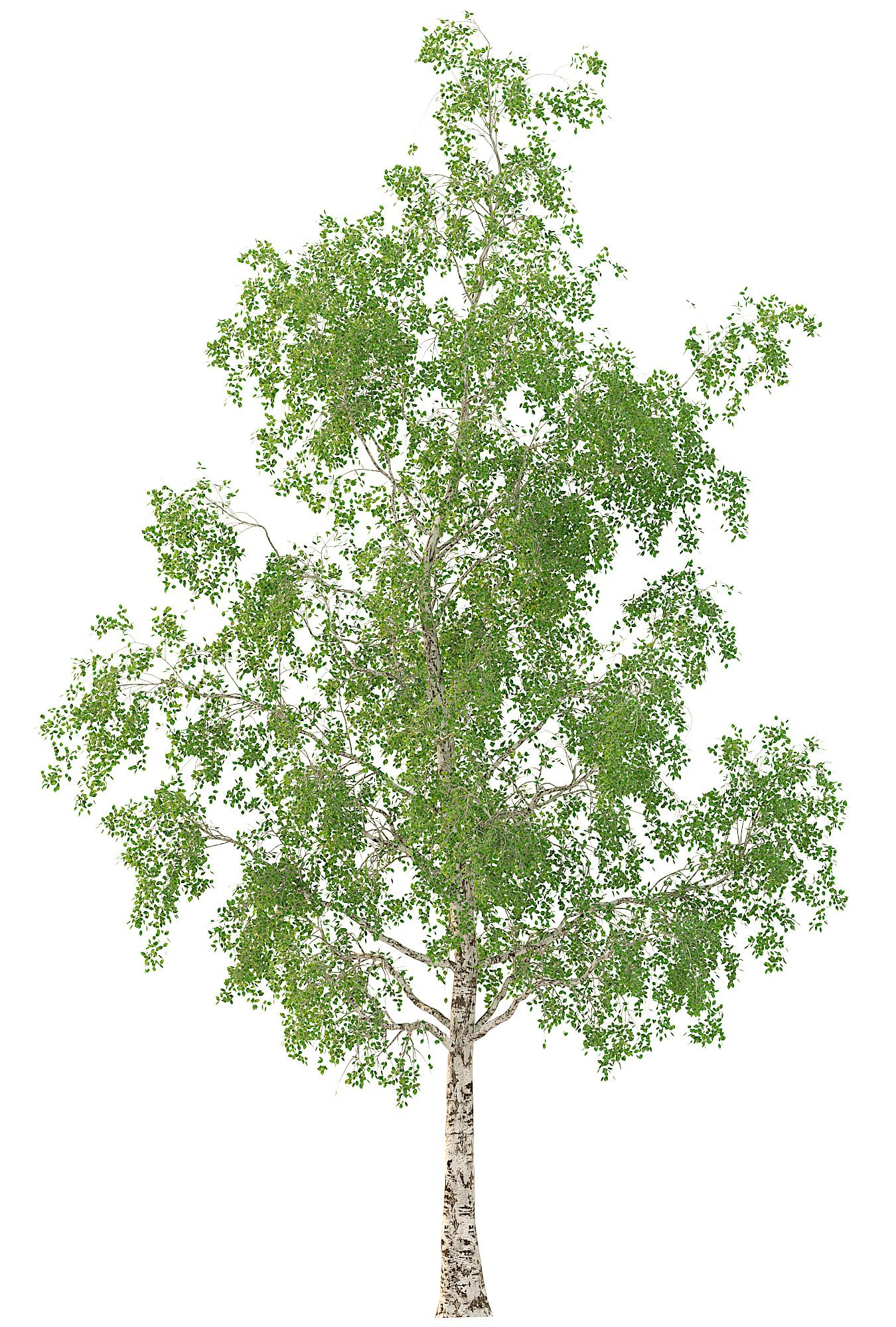 Birch Tree 3d Model No 3 3 Seasons Birch Tree 3d Model Corona Render