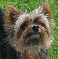 Adopt Ricco On Yorkshire Terrier Puppies Yorkshire Terrier Yorkie