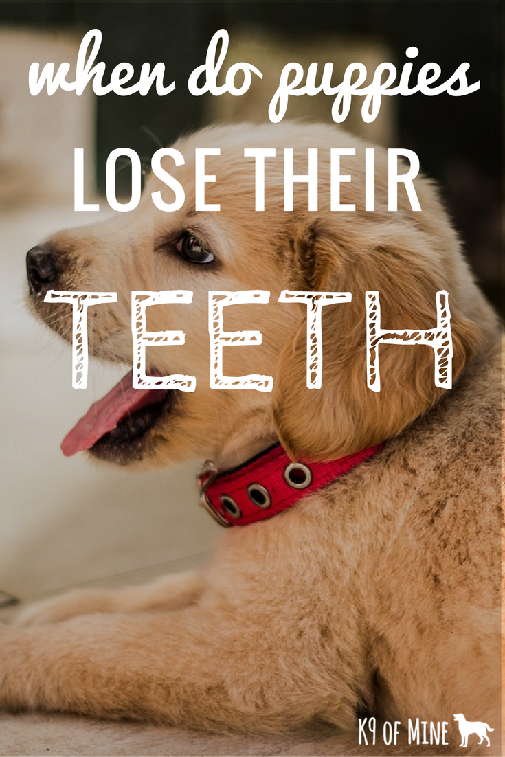 Do Puppies Lose Their Teeth & When Does It Happen? Puppy