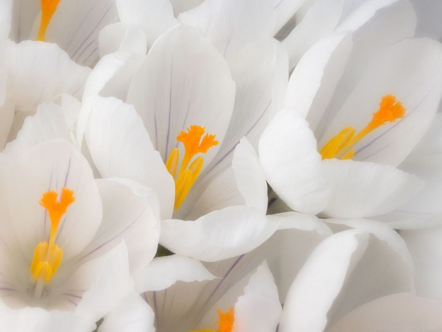 White Flowers wallpaper x