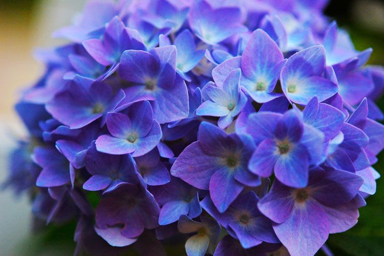 The Color Of Your Hydrangeas Is Determined By Acidity Soil Use This One Ing In To Turn Pink Blue