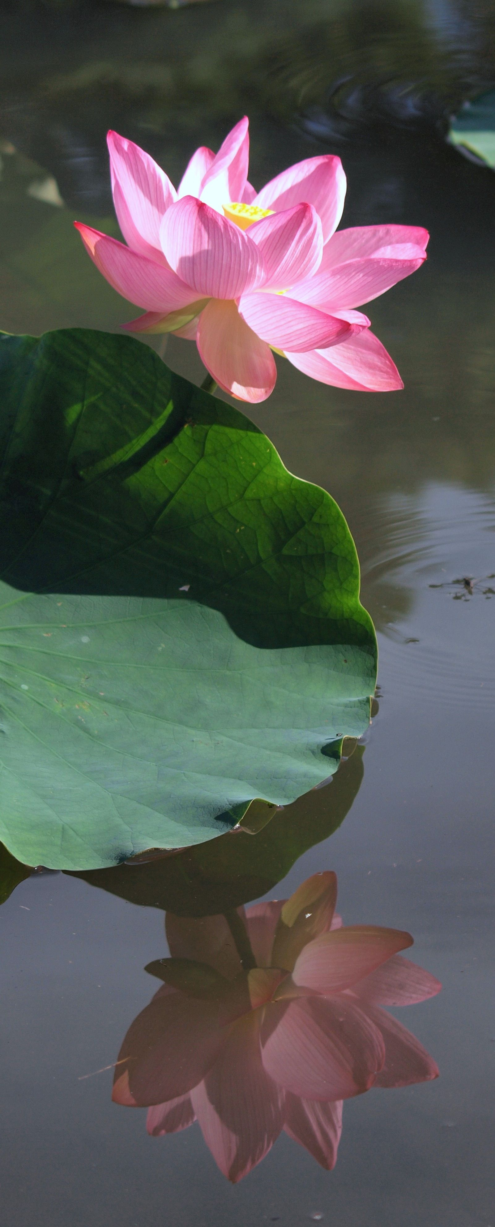 pink lotus and leaf with reflection  #lotus #flower