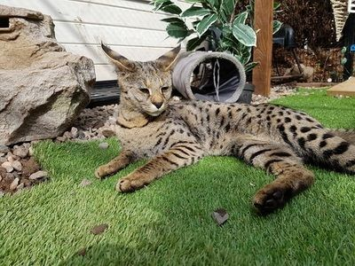 F1 Savannah Cat errr....Not For Sale Cats from your