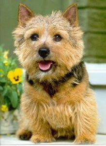 Grooming Norwich Terriers