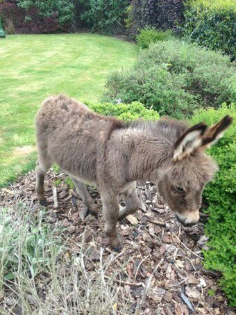 Wee Donkey Who Looks Extremely Then N With Ribs Showing