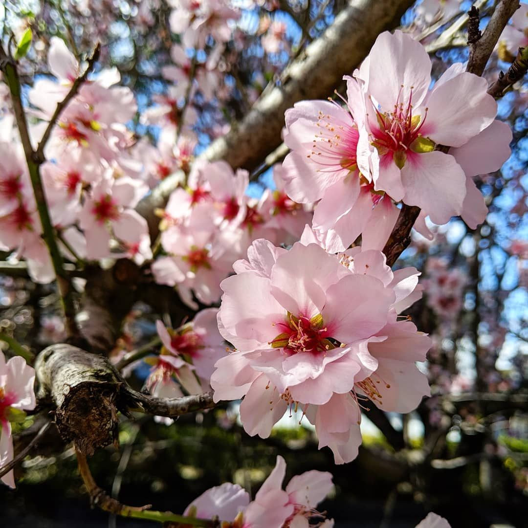Spring Is Coming Cherry Blossoms Are Making Me Very Happy Seeingbeautyeverywhere Lovelife Moth Spring Is Coming Cherry Blossom Blossom