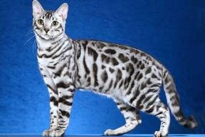 Spotted Tabby Silver Bengal Cat White Bengal Cat Bengal Cat