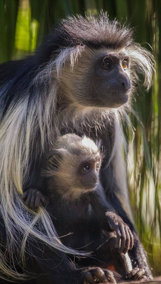 Darin Sugioka captured this great shot of our Angolan colobus monkey mom and her two-month-old. Fun fact: Burping is a friendly social gesture among leaf-eating colobus monkeys. Their chambered stomachs digest leaves by bacterial fermentation, which produ http://kittens.press/