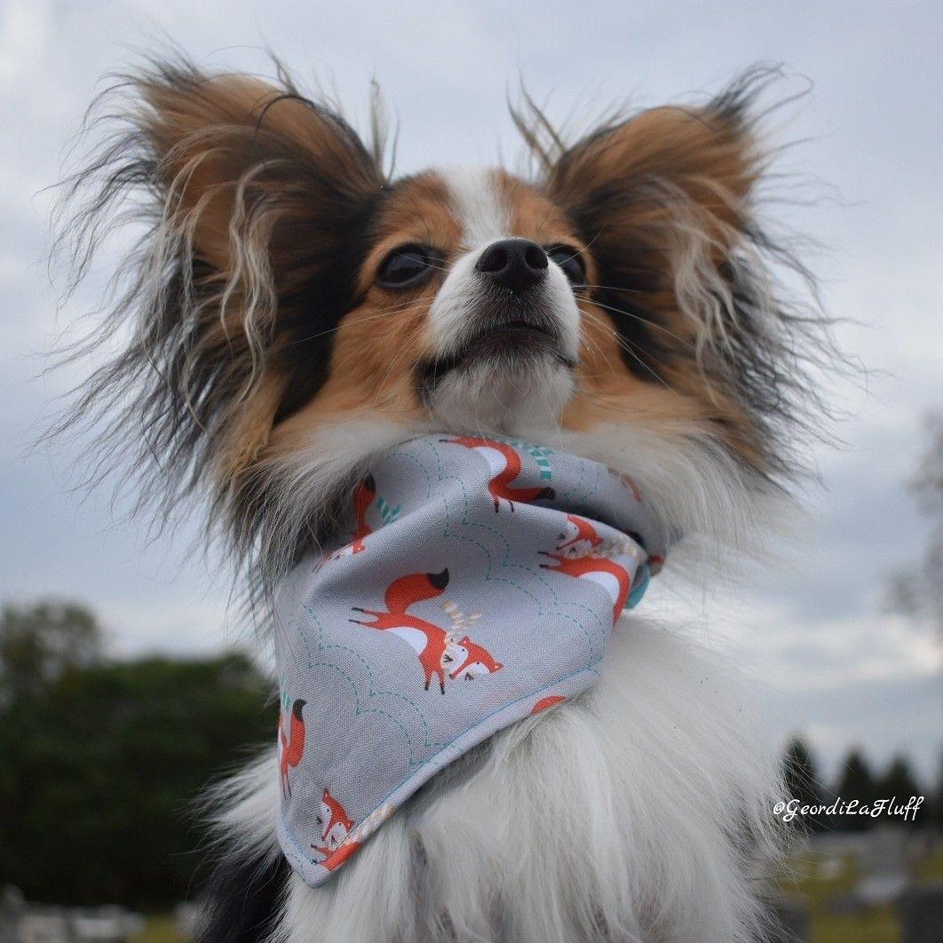 Majestic Papillon Dog Wearing A Foxy Autumn Bandana Wear