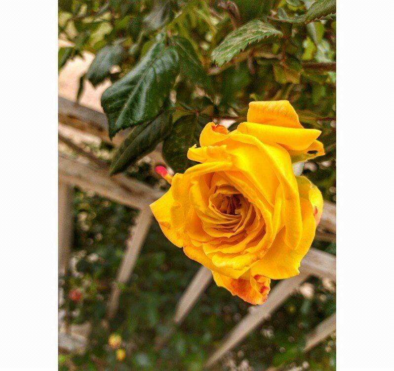 ثم إنني م غرمة بالهدوء واللون الأصفر وصديقة جيدة لآواخر الليل وبدايات الصباح المبهجـة Flowers Rose Plants