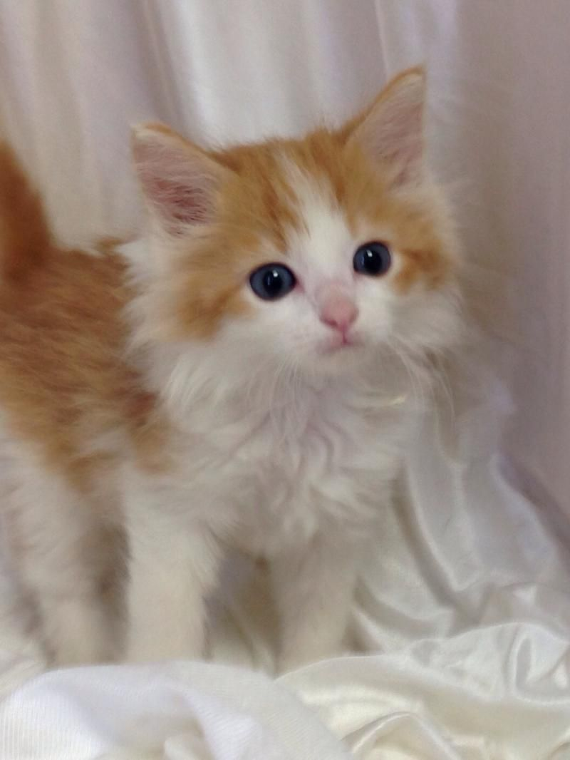 Adopt Dilly On Petfinder Orange And White Cat Kittens Cutest White Kittens