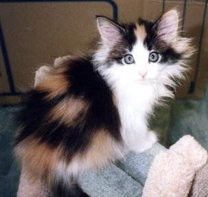 Norwegian Forest Cat Norwegian Forest Cat Norwegian Forest Kittens Pretty Cats