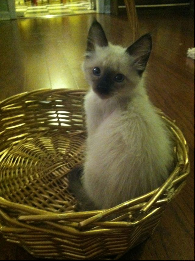 I Used To Have A Tonkinese Kitten Named Frank He Looked Just Like This Tonkinese Kittens Siamese Cats Tonkinese