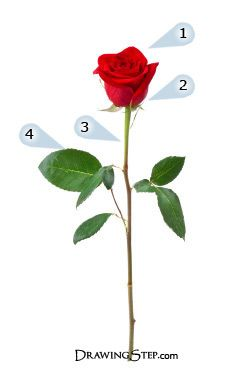 How To Draw Roses Pencil Drawing Of A Rose Roses Drawing Rose Sketch Red Rose Pictures