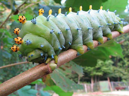Cecropia Silk Moth Caterpillar