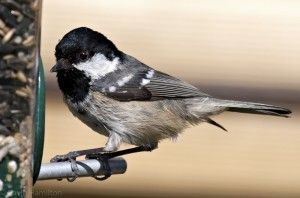 British garden birds - Coal tit