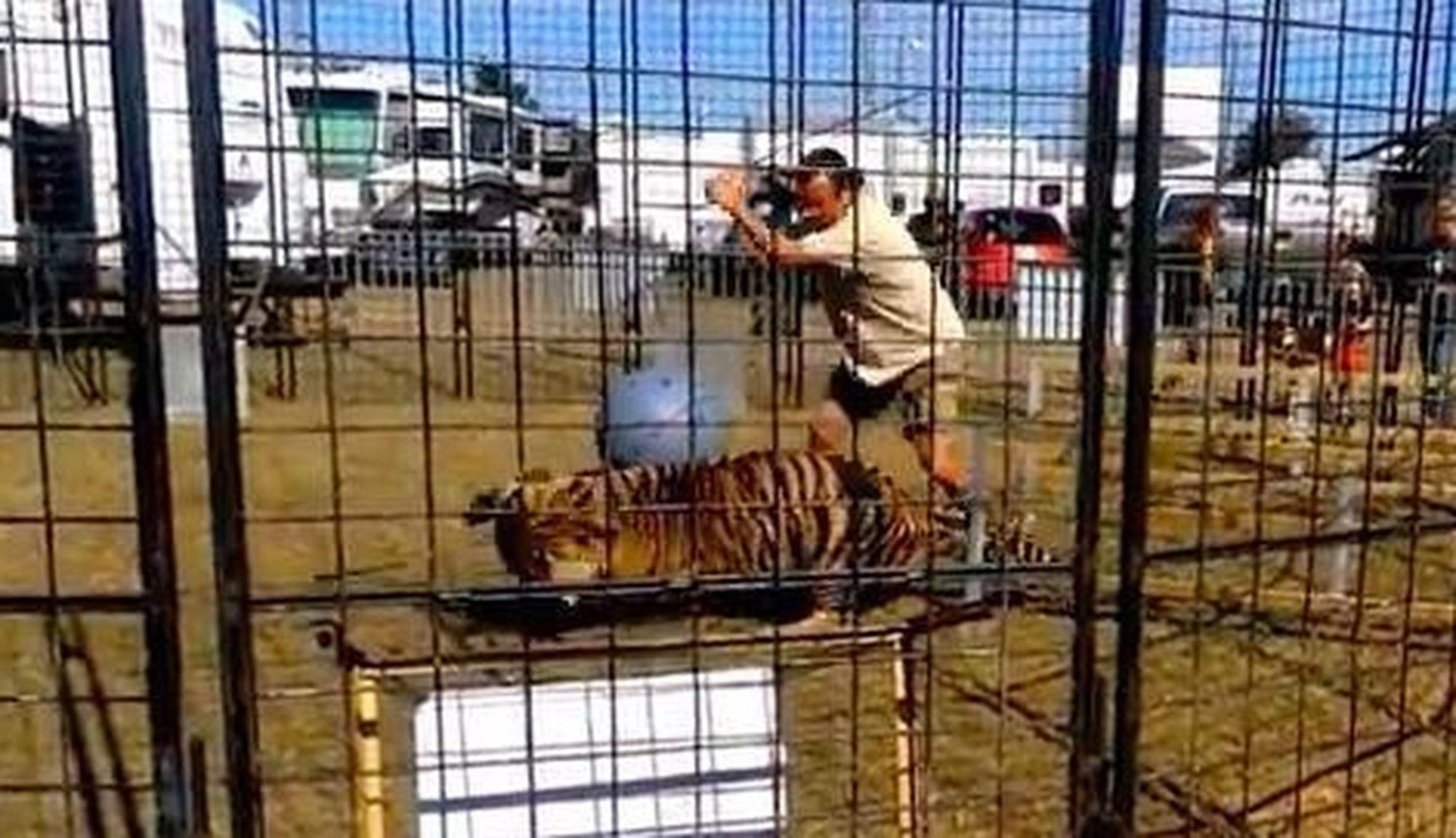 Crowd Watches Circus Tiger Get Whipped 'Mercilessly' After