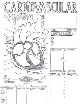 These sketch notes cover the basics of the Cardiovascular