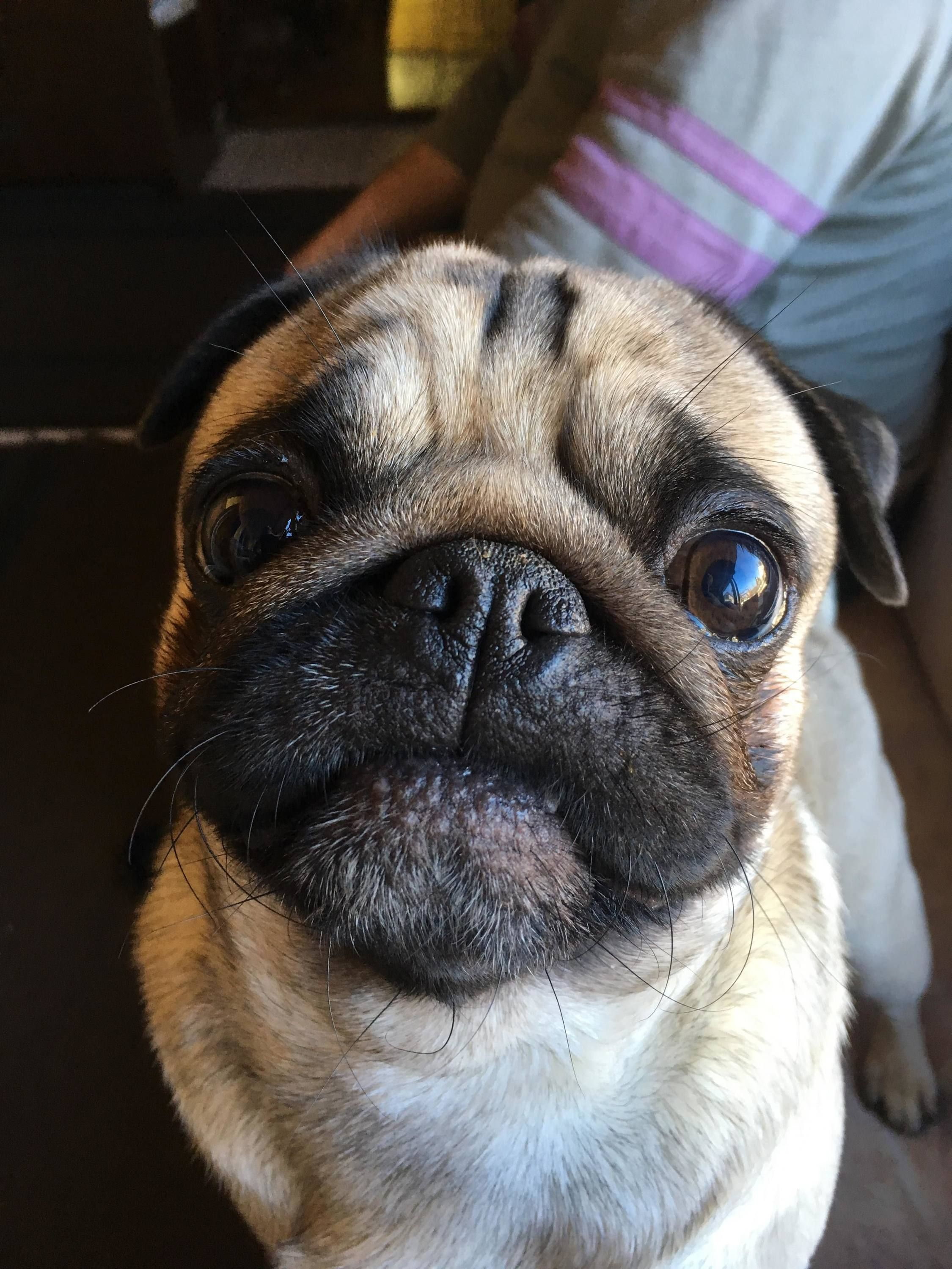 What S Behind This Reaction Cute Pugs Pugs Pug Pictures