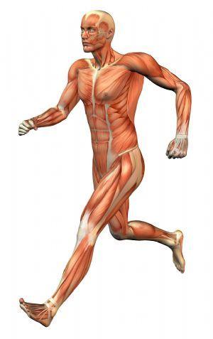 Músculos que actúan en la carrera | Anatomía (Músculos) | Pinterest ...