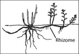 Définition d'un rhizome: le rhizome est une tige souterraine vivace,généralement horizontale,qui ...