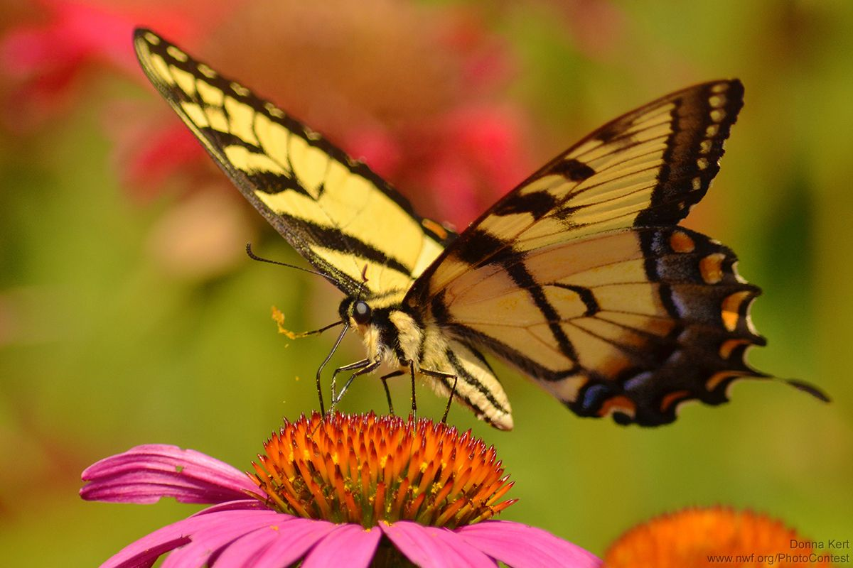 For great wildlife gardening, it is important to know about pollinators. They can be birds, but most often they are insects that, while feeding on flowers, will help spread pollen to other plants for healthy garden propagation. Bees are the best known pollinators and America's food supplies depend...