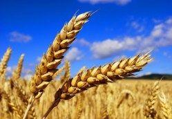 Les bienfaits de l'huile végétale de germes de blé pour la peau