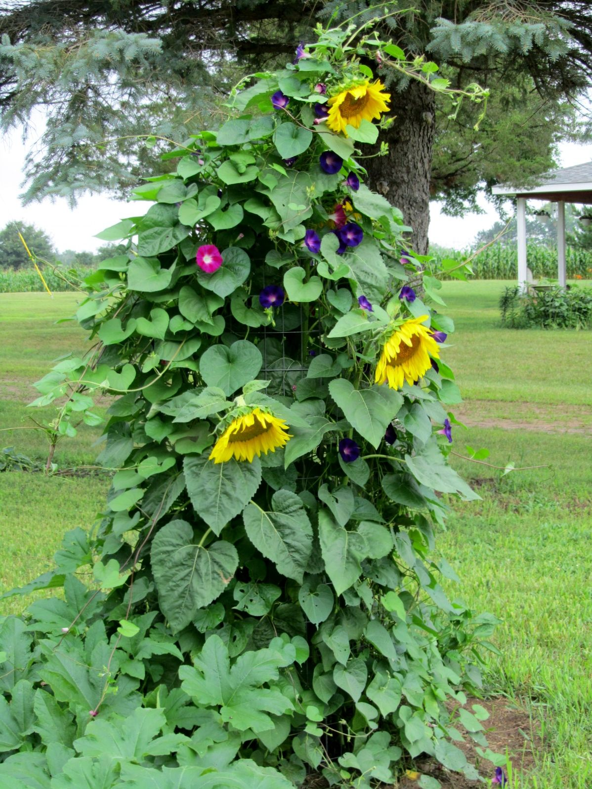 We planted Morning Glories and Sunflower seeds (from the