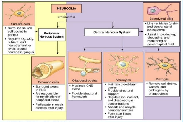 glial-cells-neurobiology-and-clinical-aspects-38-638jpg (638×426