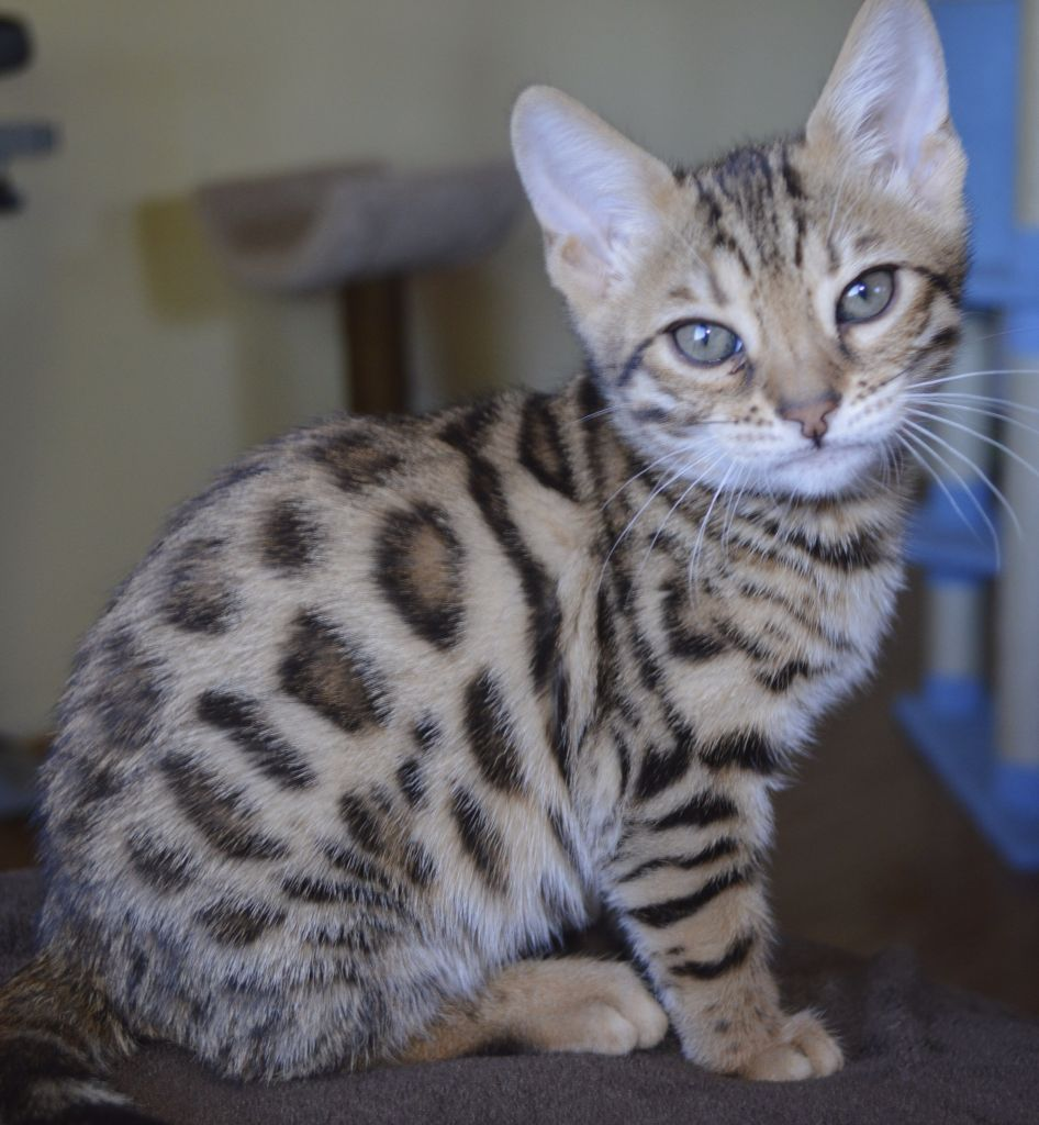 Snow Bengal kitten Chat Pinterest