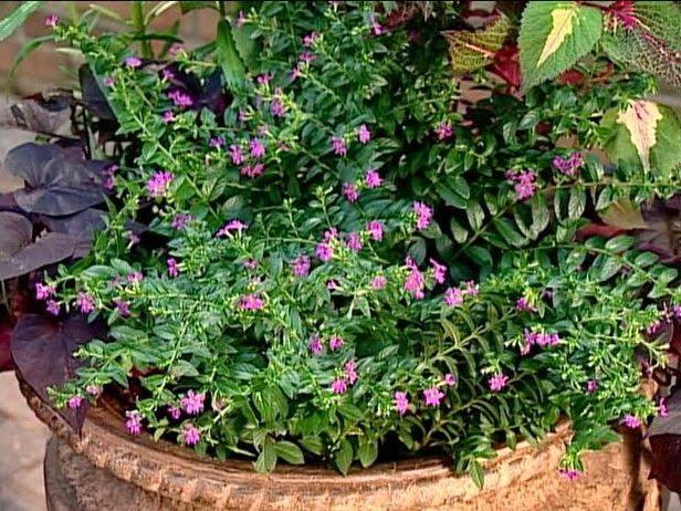 Amazing Mexican Heather A Fail Proof Plant Plants Plants For Planters Drought Tolerant Garden