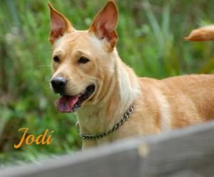 Jodi Is An Adoptable Shiba Inu Dog In Sarasota Fl Dogs