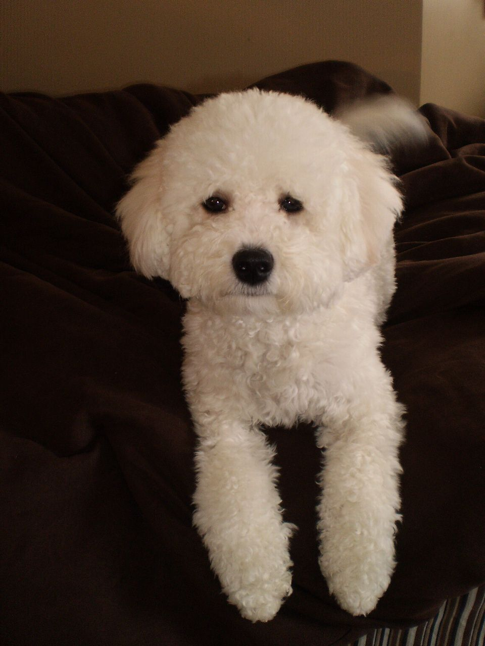 Pin By Grammy On It S Raining Cats And Dogs Bichon Poodle Dog Poodle Haircut