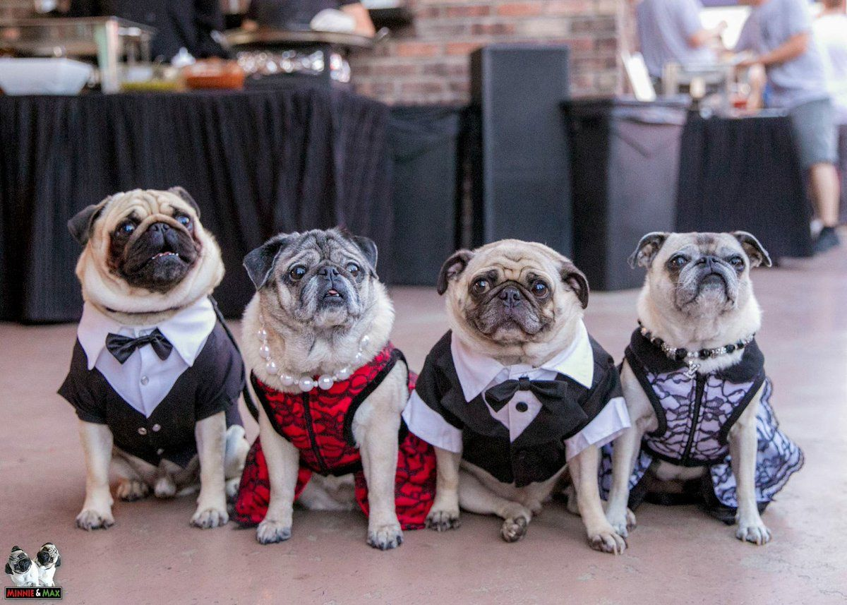 Even A Pug Party Can Have A Dress Code Pug Pugs Puglia Puggle