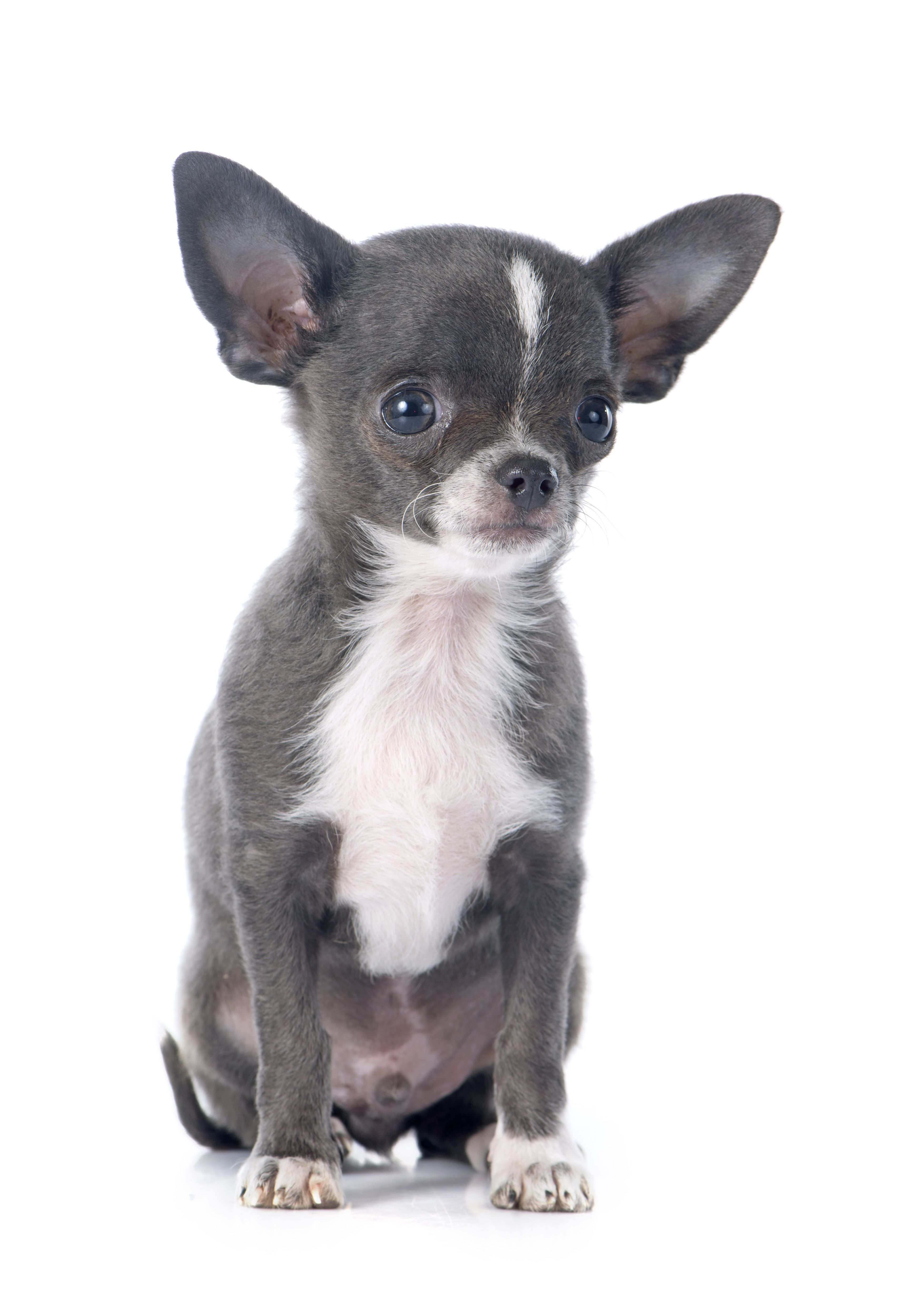 Chihuahua Dog Based Character Vinny Muttenghetti Dog Mafia Inc