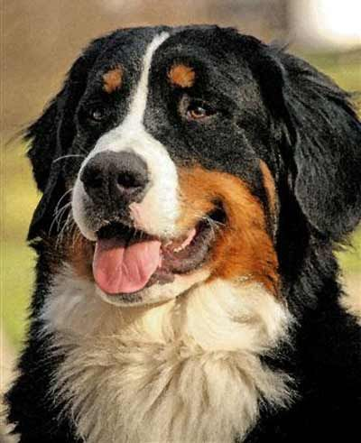 Bernese Mountain Dog Bernese Mountain Dog Hub Luke Atkian Cleveland Pets Mountain Dogs Bernese Mountain Dog Baby Dogs