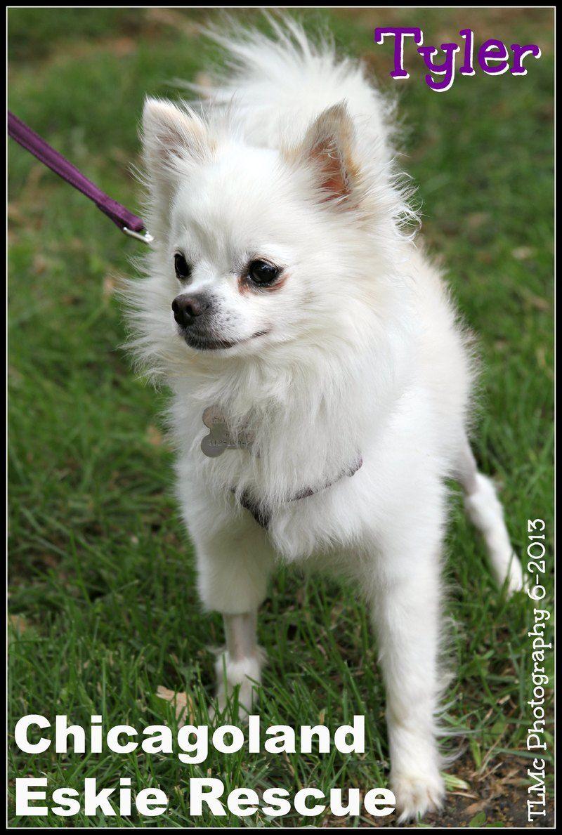 Adopt Tyler On Petfinder American Eskimo Dog Mix Chihuahua Pets