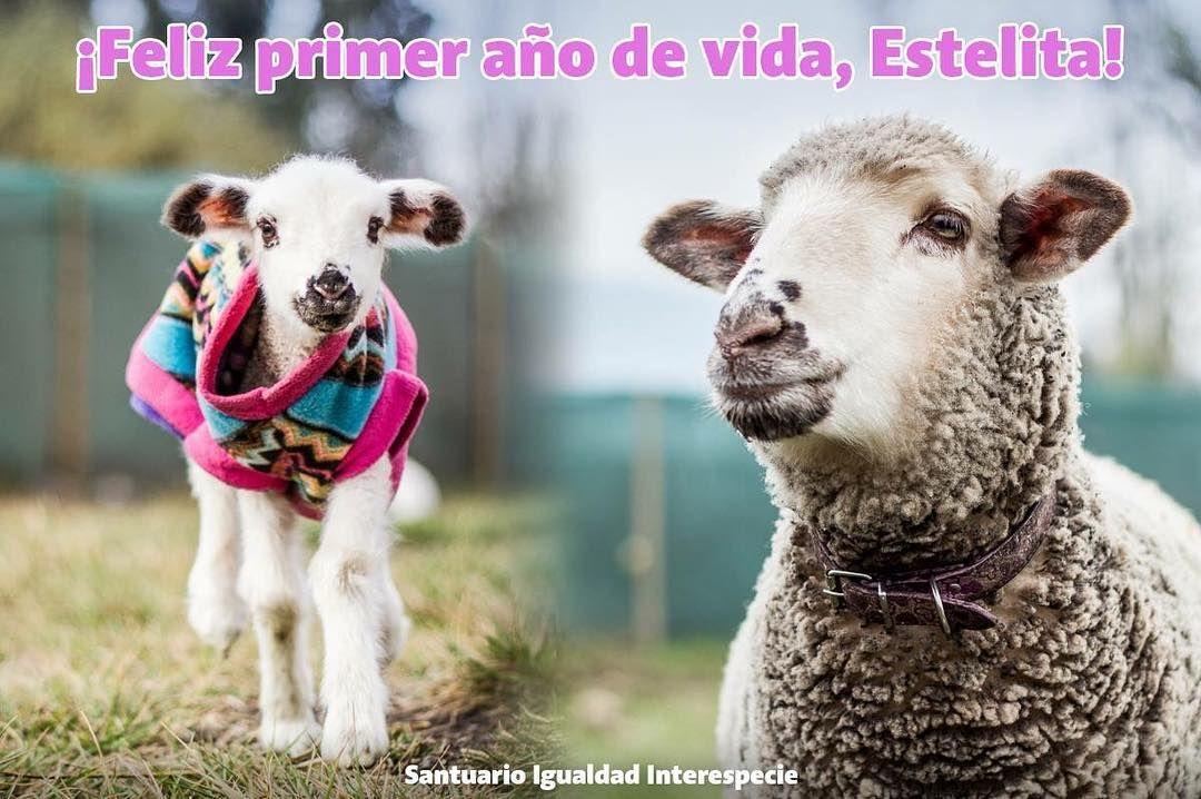 Feliz cumpleaños Estelita   Estela es una oveja muy especial. Tiene unos ojos muy expresivos una confianza plena en las personas es muy curiosa cariñosa y tiene un corazón lleno de sentimientos hermosos. En su primer año de vida ella ha hecho muchos amigos y todo el equipo del santuario le tiene un lugar muy especial en su corazón.  Y es porque Estela es una luchadora. La primera vez que la vimos llevaba más de 24 horas de nacida y no había tomado leche ni conocido a su madre. La llamaba…