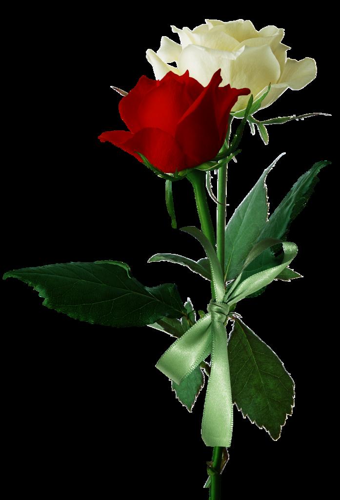 Pin By Ali Libnan On Wallpaper Beautiful Roses Red Roses Fresh Rose Petals