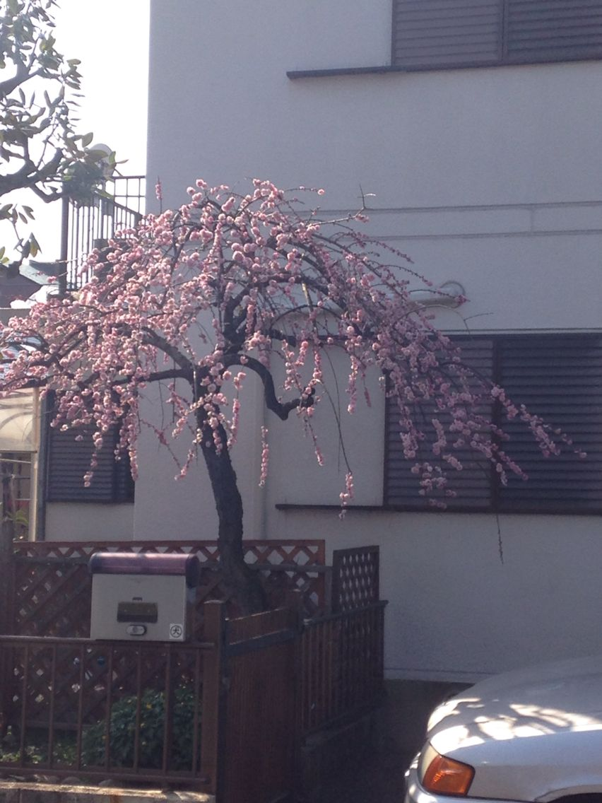 Beautiful Sakura Denenchofu japan