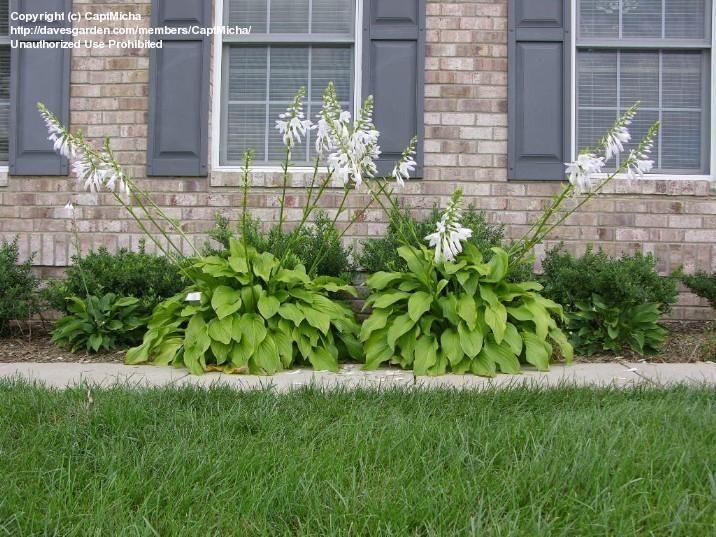 Hosta Honeybells Midwest Landscaping Garden Landscaping