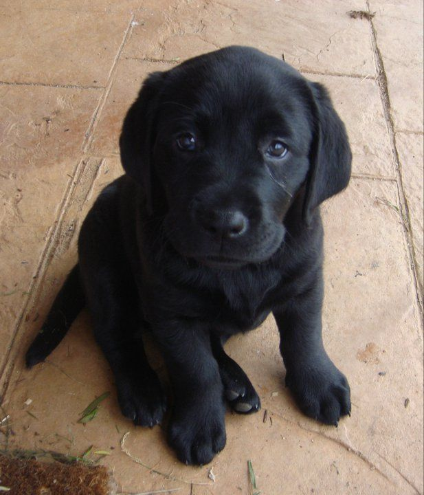 Cute little black lab Cute Pictures of Labrador Dogs