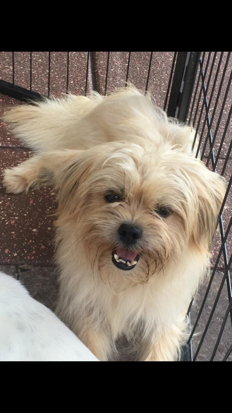 Meet Carson Cameron A Petfinder Adoptable Shih Tzu Dog Monroe