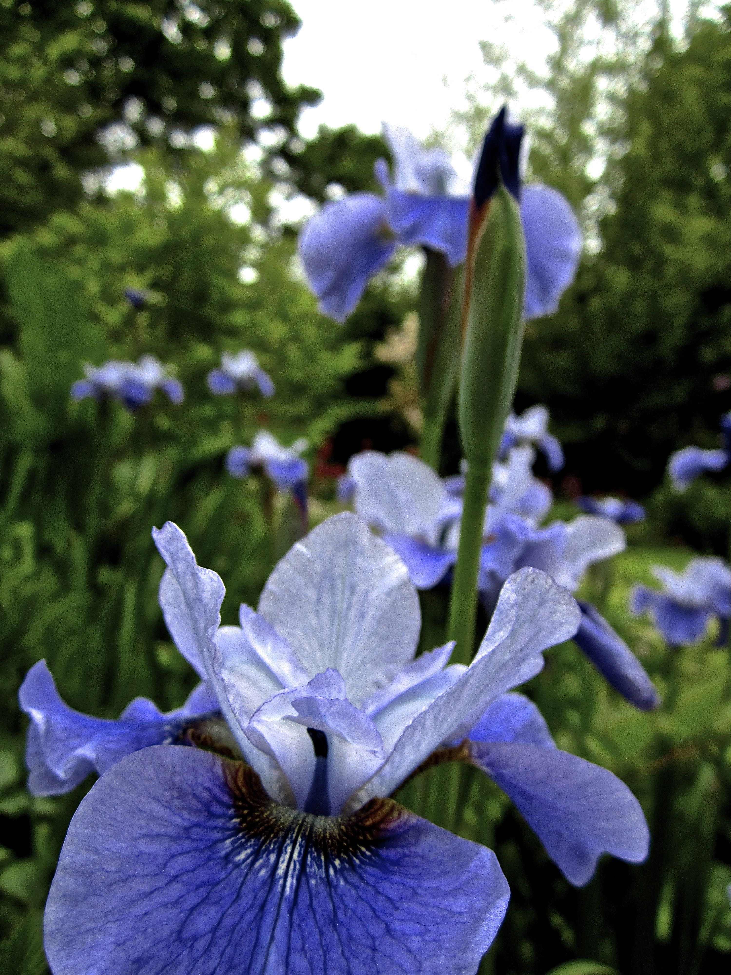 iris sibirica 'shall we dance' (With images) Plant